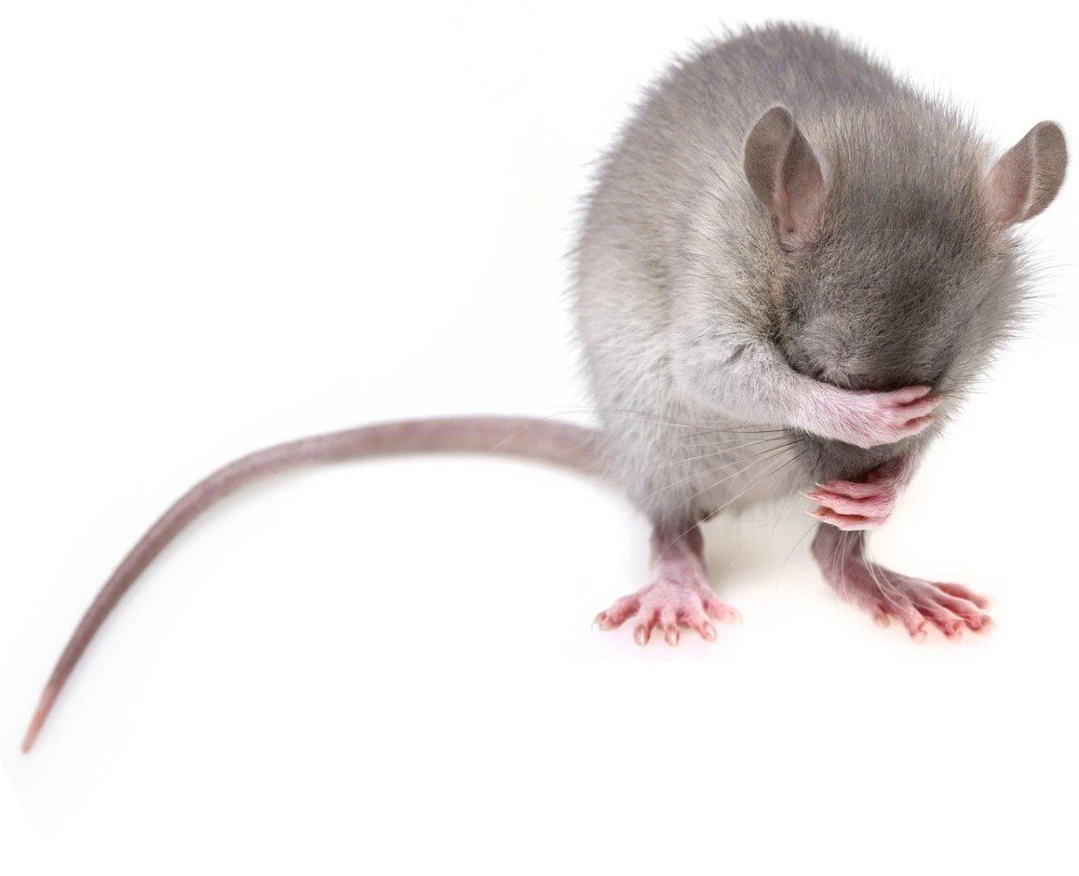Szczur w domu, gdzie powinno się szukać pomocy?
